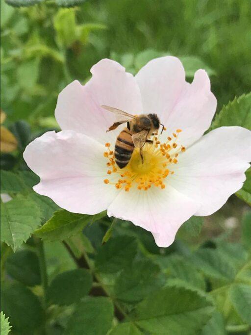 l'ape sul fiore della rosa canina