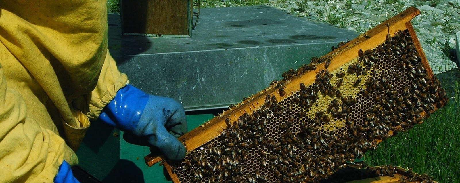un telaio colmo di miele e api