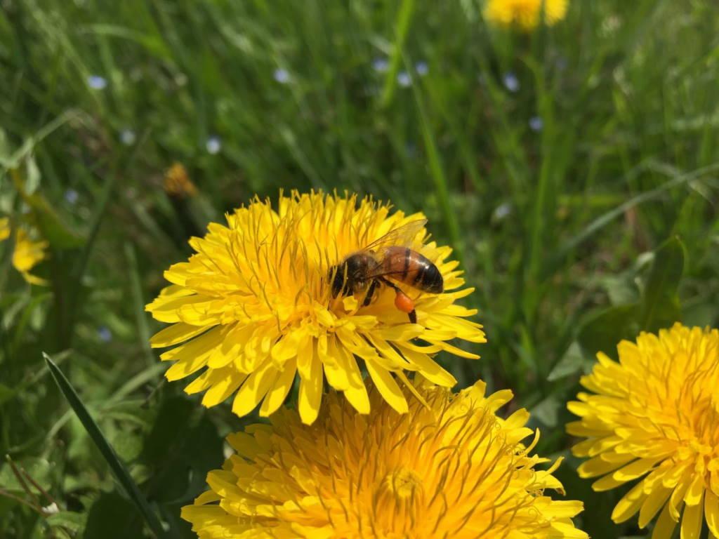 ape sul fiore di tarassaco