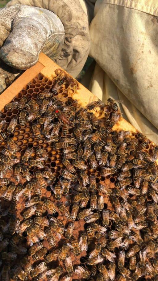 telaio con ape regina